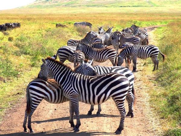 zebrashoor